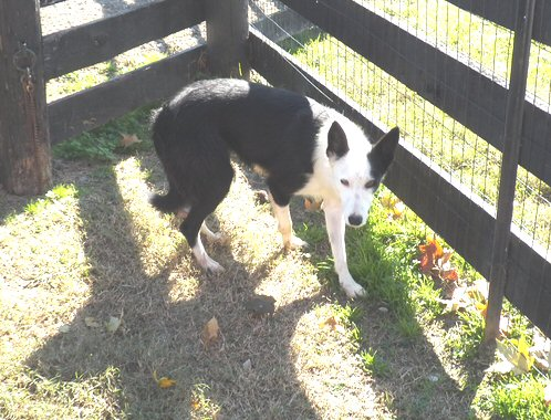 working Border Collie Dixie