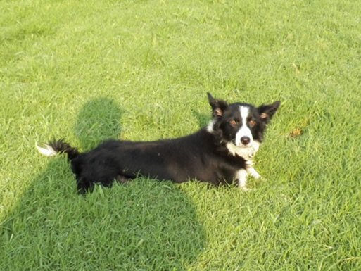 working Border Collie Nan