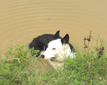 working border collies