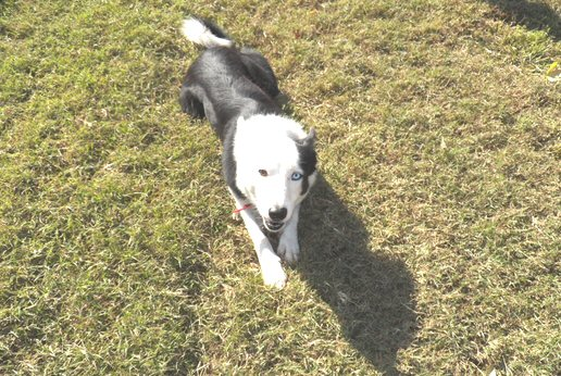 Working Border Collie Tink